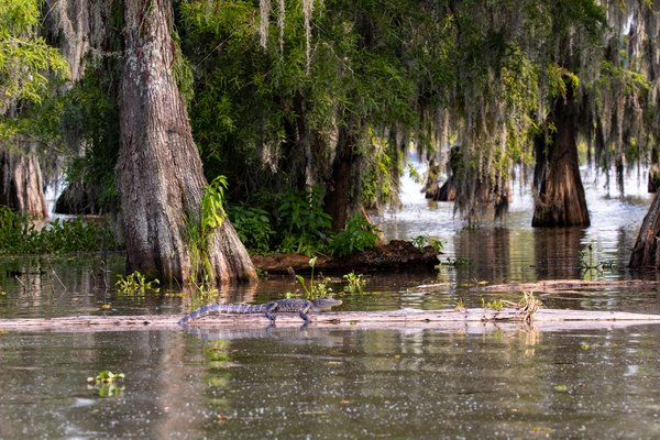 Louisianan Swamp thumbnail