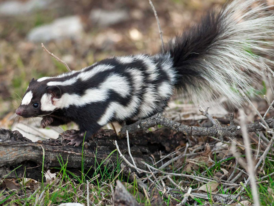 Scientists Identify Seven Species of Spotted Skunks, and They All Do Handstands Before They Spray