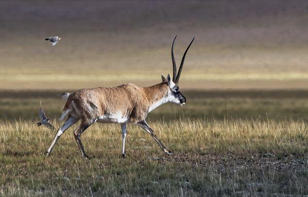 Highland fairy Tibetan Antelope 4 thumbnail