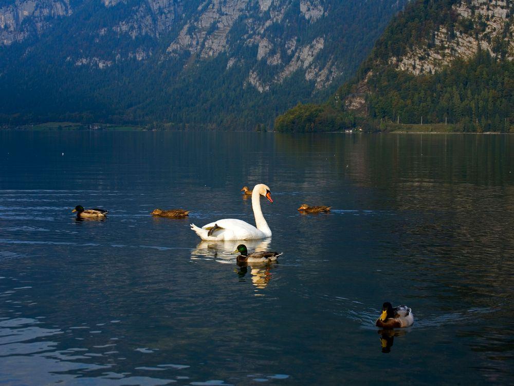 swan-hallstatt-steves.jpg