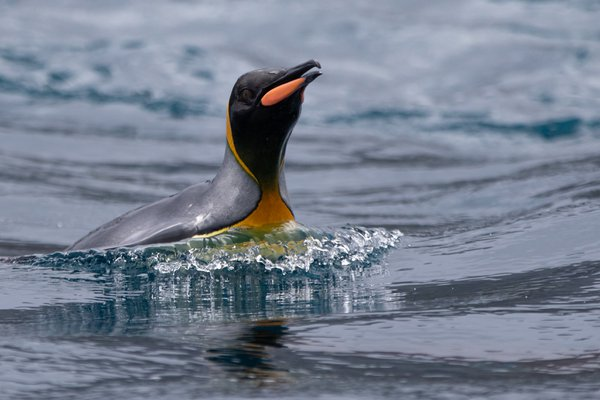 King penguin at sea thumbnail