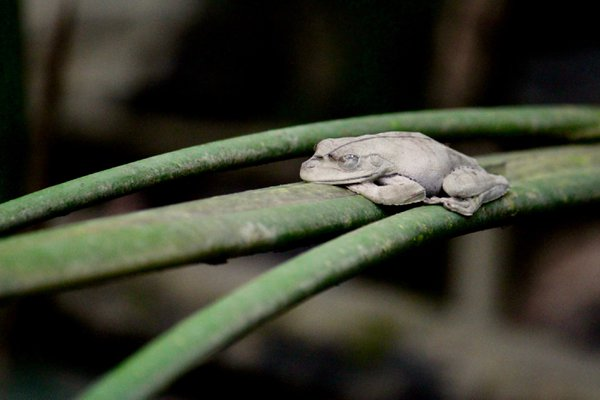 A little frog in the Ecuadorian Amazon thumbnail