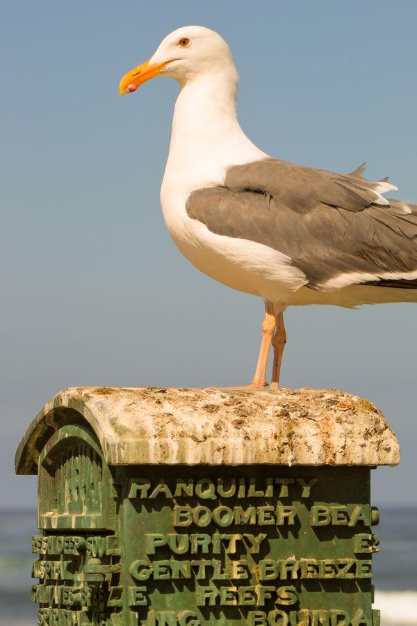 La Jolla Gull Patience thumbnail