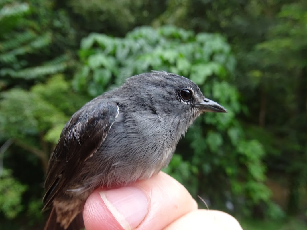 The small, gray spectacled flowerpecker perched on the researchers finger with lush, green forests in the background.