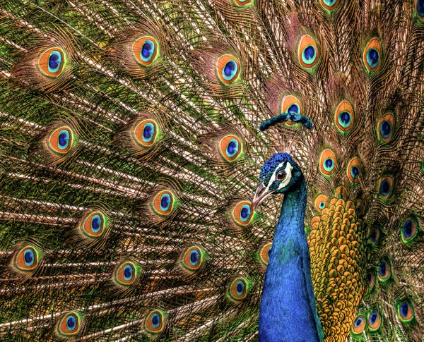 Peacock Perfection thumbnail