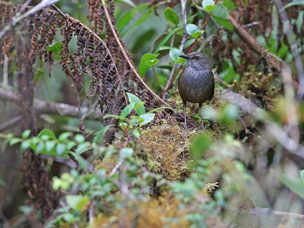 Taliabu Grasshopper-Warbler