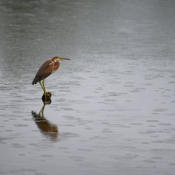 Tricolored Heron waiting in the rain thumbnail