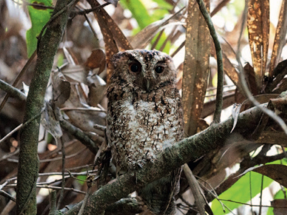 Brown Rajah scops-owl found perched on tree