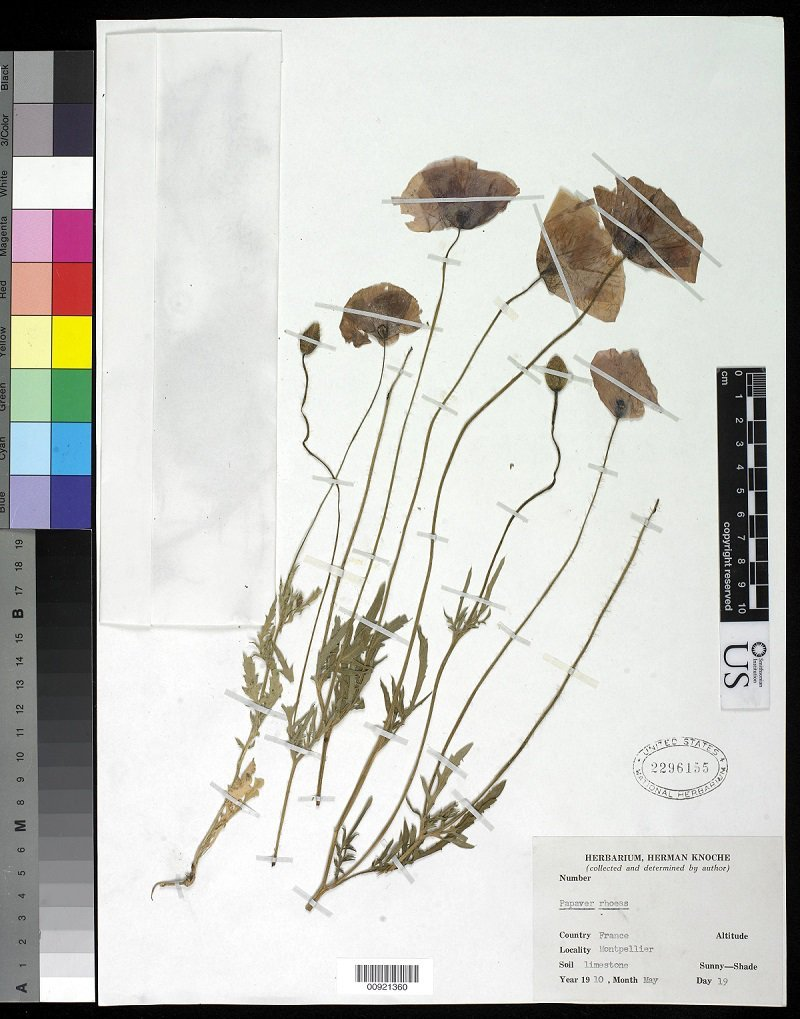 Dried and preserved common poppy from the U.S. National Herbarium at the Smithsonian's National Museum of Natural History