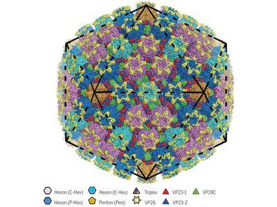 The structure of herpes virus simplex 2, aka genital herpes