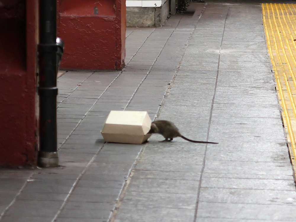 Subway rat with its head in a take-out container