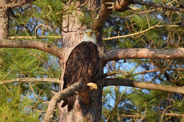 A Bald Eagle Resting thumbnail