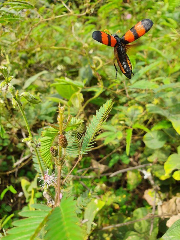 Blister beetle setting flight thumbnail