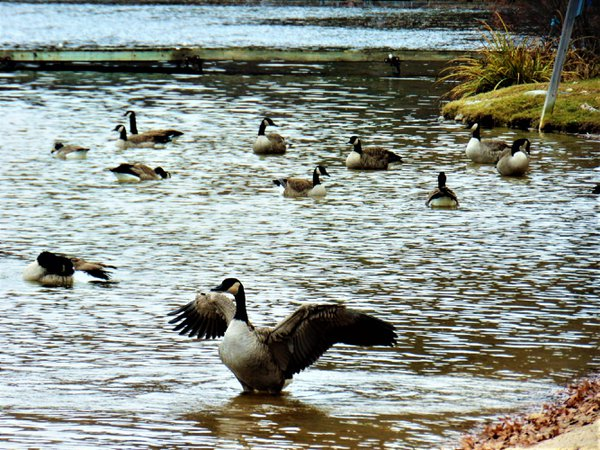 Canadian Geese Braving The Cold thumbnail