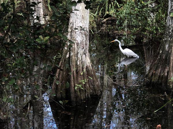 Wading Great Egret thumbnail