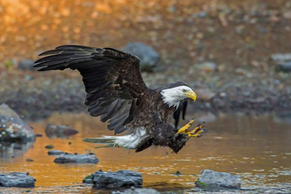 Bald Eagle Attacking thumbnail