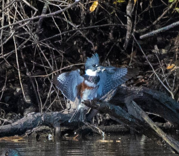 A belted kingfisher landing with a fish  thumbnail