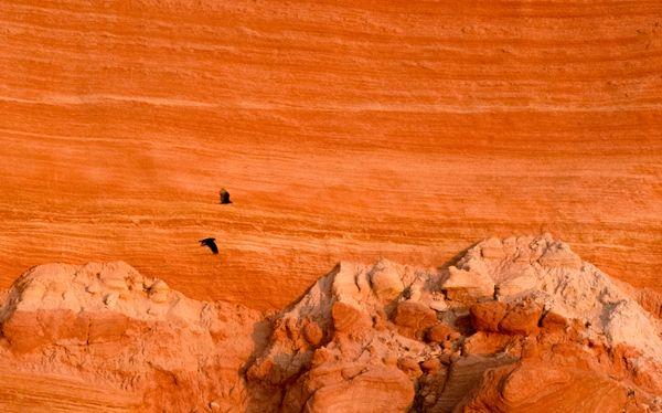 Vultures Surveying Isla San Pedro Mártir thumbnail