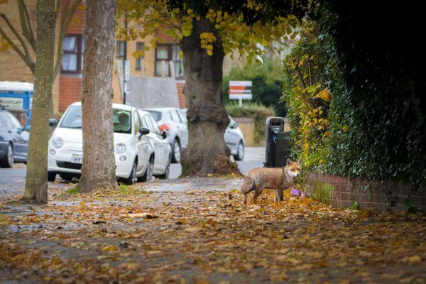 Urban Fox thumbnail