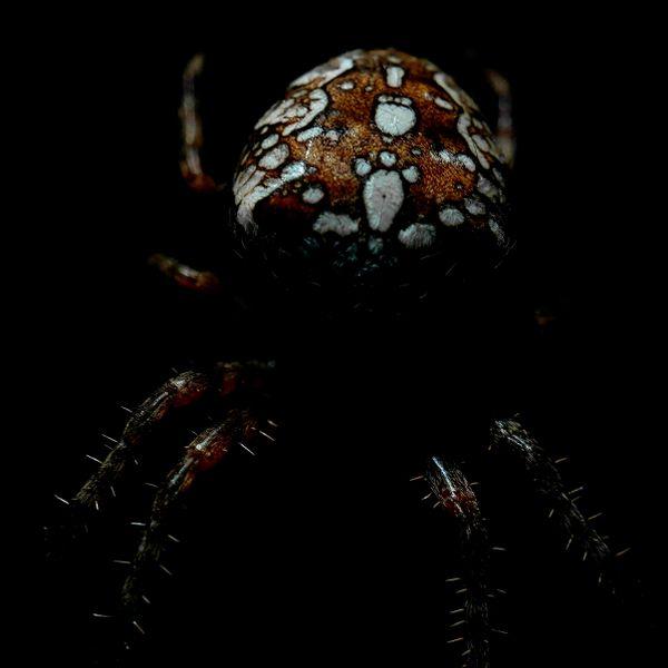 European garden spider (Araneus diadematus) thumbnail