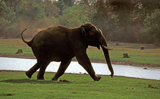 Elephant grazing