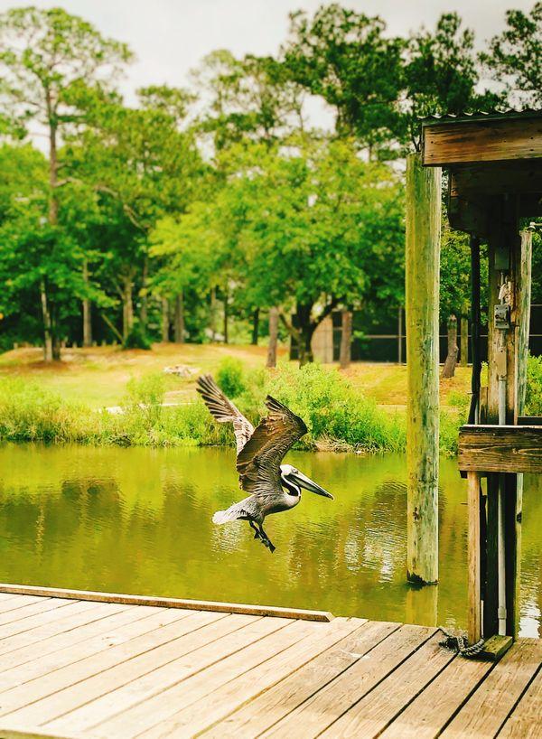 Pelican on the Bayou thumbnail