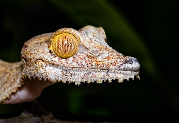 Lacy gecko thumbnail