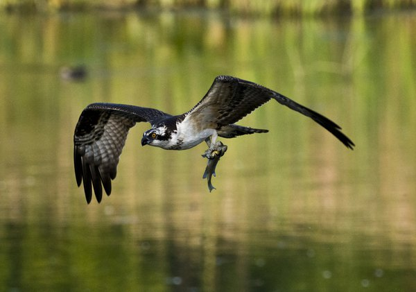 osprey caught some lunch thumbnail