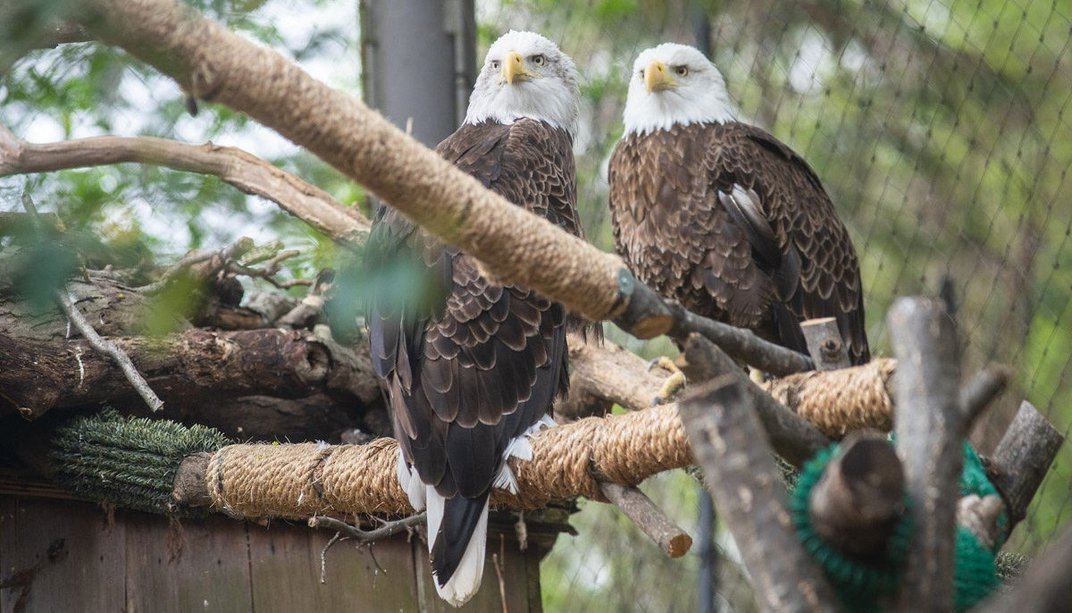 Two bald eagles, Annie and Tioga, sit on a perch in their yard. The perch looks like a branch wrapped in tan twine. There are other branches and perches around the birds.