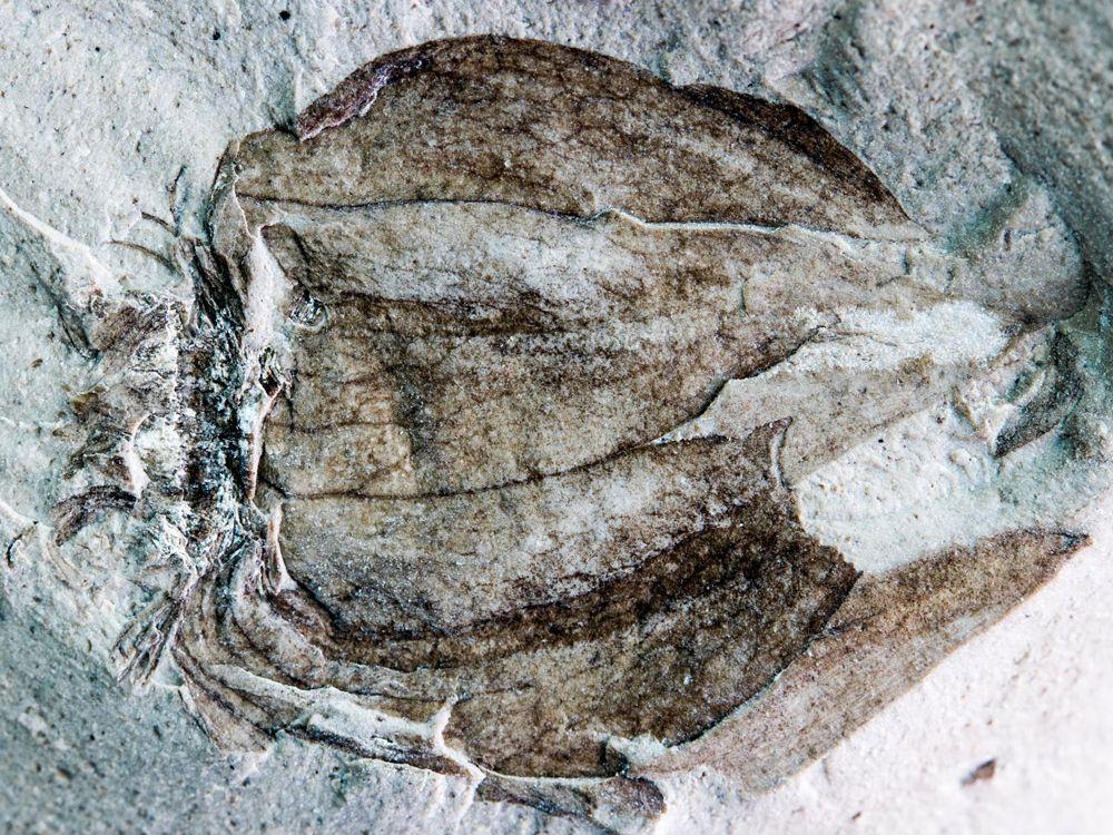 fossil tomatillo