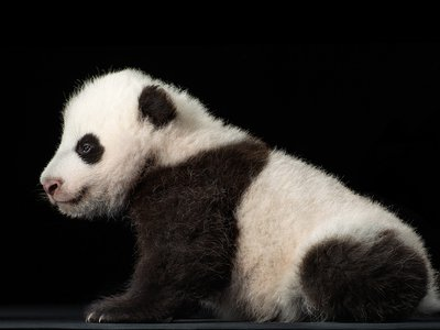 Bao Bao at 10 weeks. Scientists estimate that a giant panda ancestor split from the bear lineage 18 million years ago.