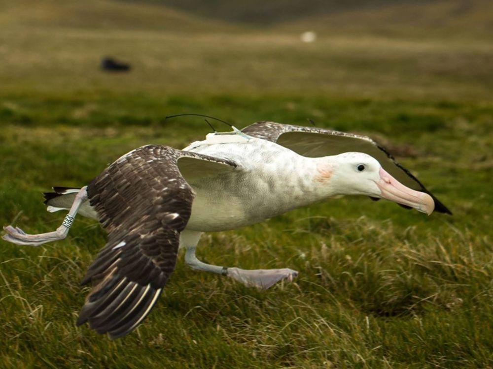 tagged albatross 3