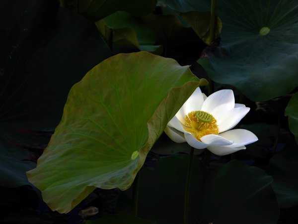 The lotus pond  in Wufeng. thumbnail