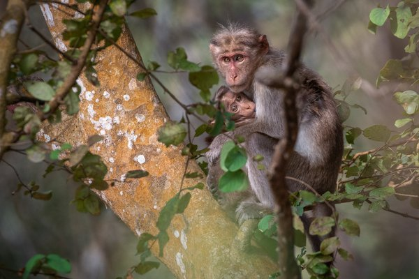 A mother Macaque monkey nursing her baby in the trees of kabini forest, India