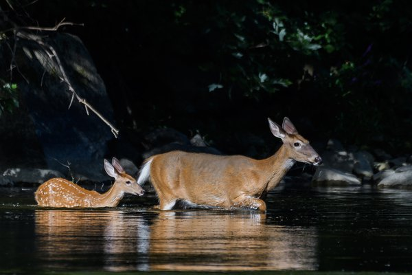 Doe and Fawn Crossing the River thumbnail
