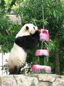 national-zoo-tai-shan-birthday-4-224x300.jpg