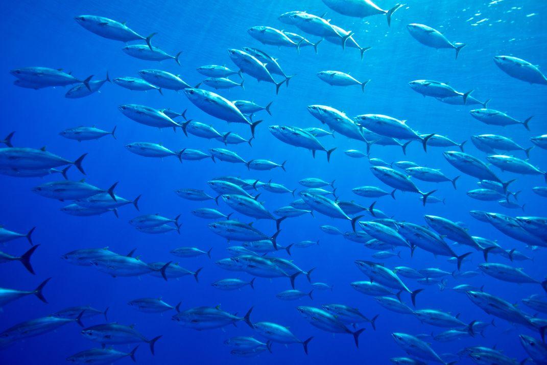 A school of Atlantic bluefin tuna swimming in the ocean.