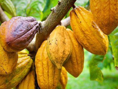 Cacao trees with chocolate fruit pods on Kauai, HI.