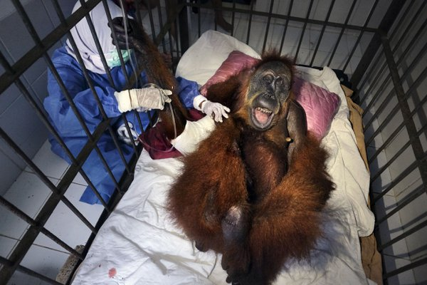 Saving Orangutans 16 thumbnail