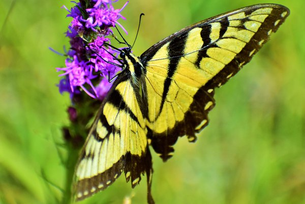 A yellow butterfly on a purple flower in North Dakota. thumbnail
