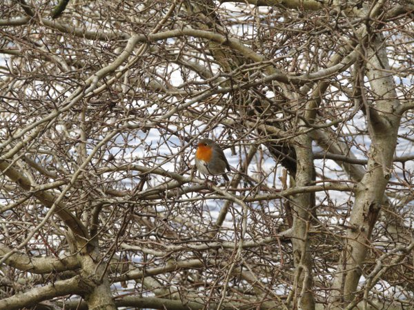 A robin sitting in a tree thumbnail