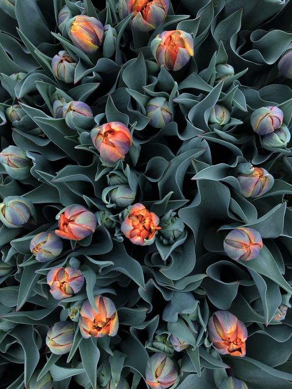 Tulip Patch thumbnail