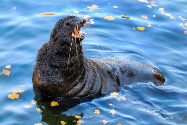fur seal thumbnail