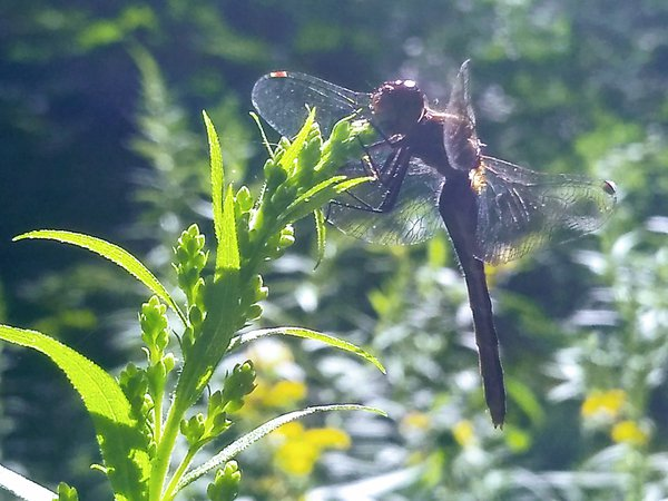 A dragonfly enjoying the new goldenrod blossoms thumbnail