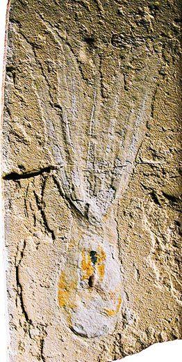 Octopus fossil