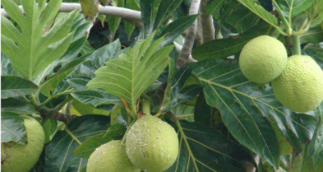 Starchy staple of the tropics, the breadfruit is often fried or baked and eaten like potatoes.