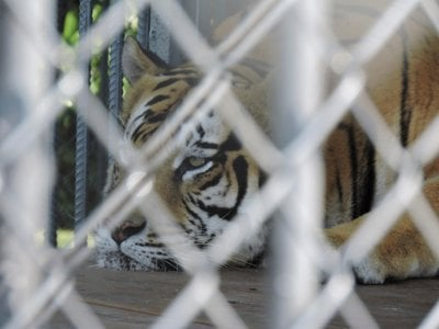 Tony the Tiger, a 550-pound Siberian-Bengal mix, lives in a cage at a Louisiana truck stop.