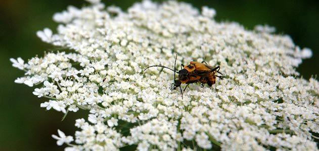 Lightning bugs mating