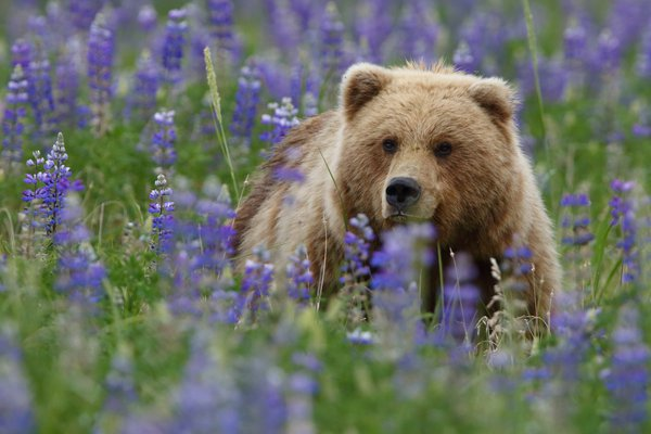 Alaskan Brown Bear in Lupines thumbnail
