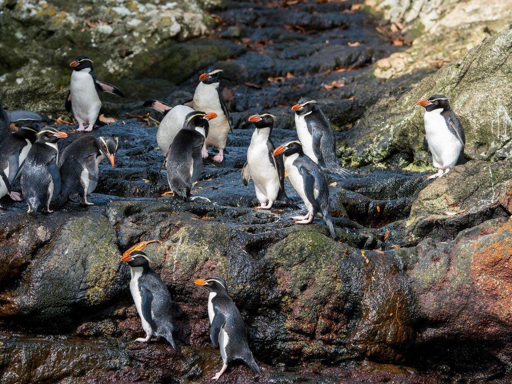 extinct nonextinct penguin